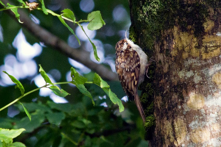 Tree Creeper…