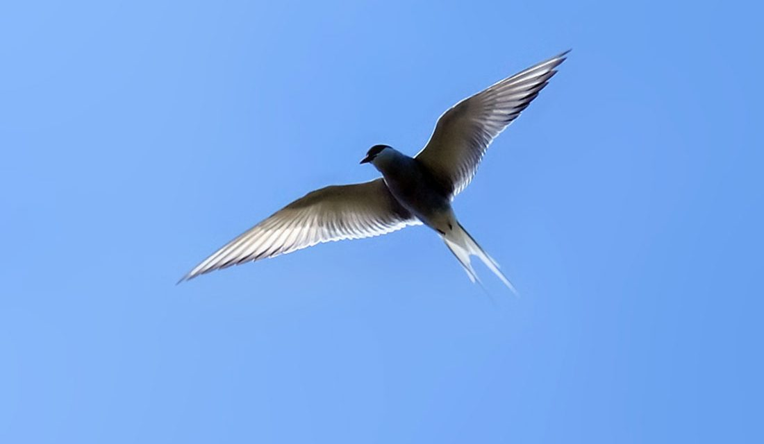 The Amazing Arctic Tern