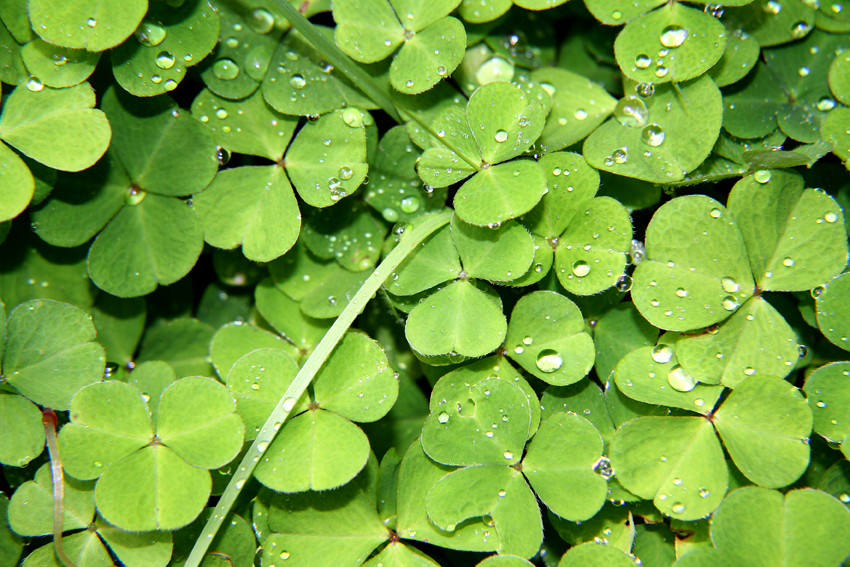 Shamrocks & Dewy Diamonds, Polranny, County Mayo, Ireland