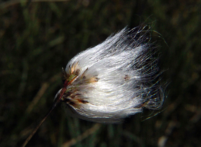 Bog Cotton, Eriophorum Angustifolium, Ireland